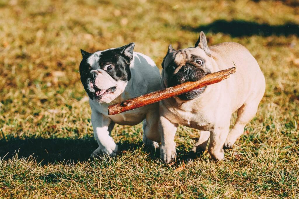Bulldog Francez in parc