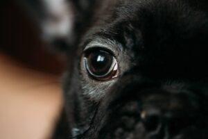 Ochi bulldog francez