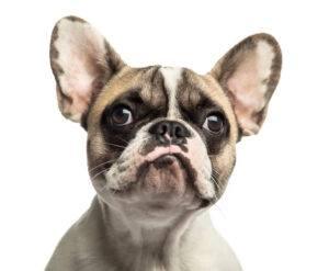 Șocul anafilactic bulldog francez