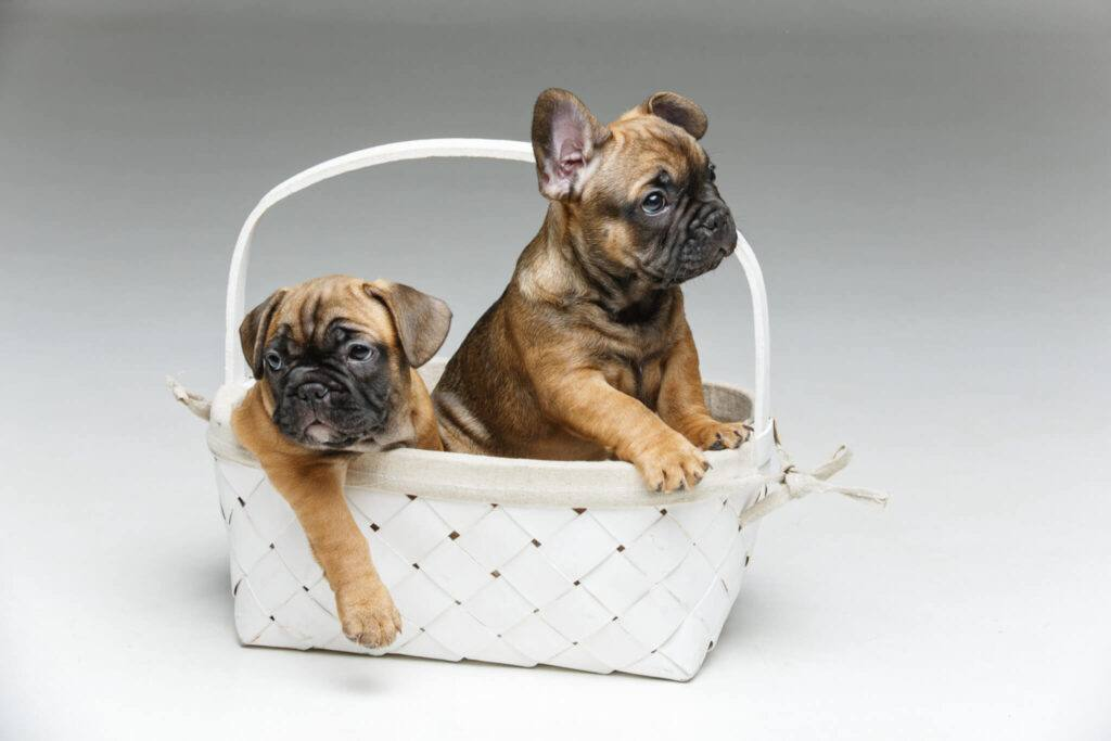 bulldog francez in cos