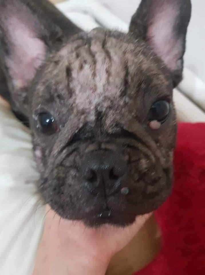 Bulldog Francez România