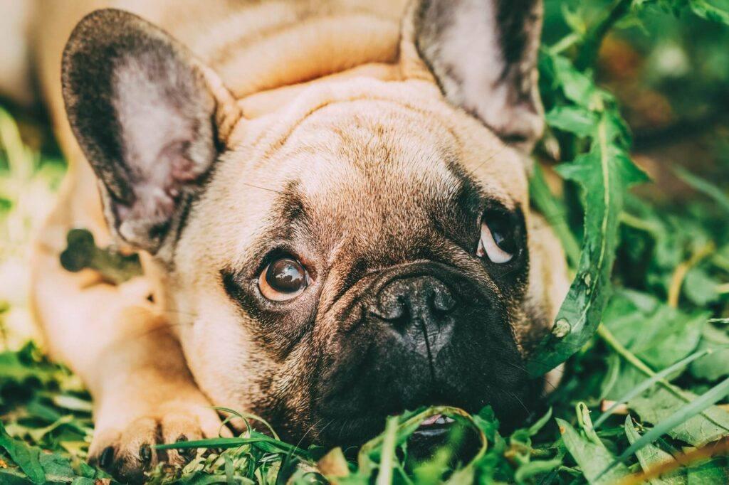 Bulldog francez in iarba