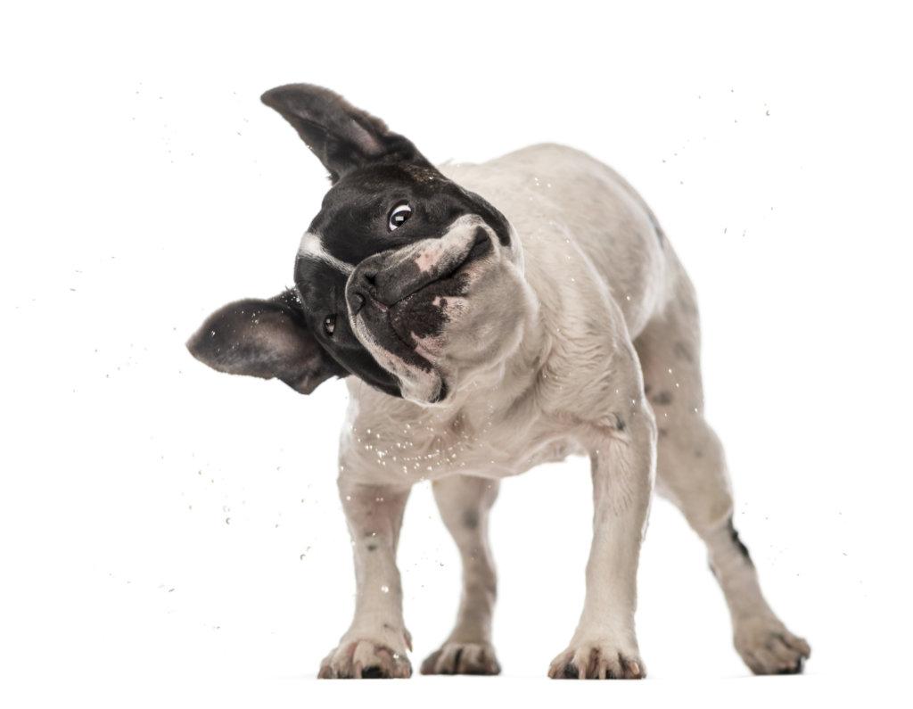 dermatita bulldog francez