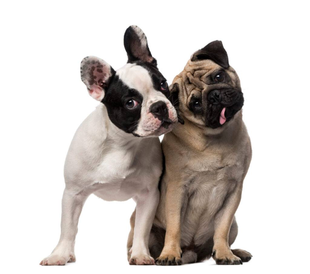 bulldog francez si pug