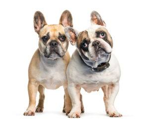 2 bulldogei