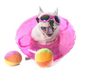 baie la bulldog francez