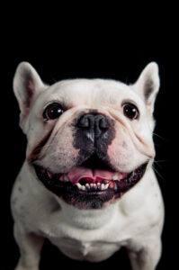 probleme cardiace bulldog francez