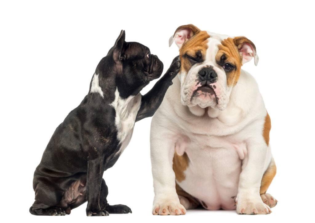 bulldog francez si englez