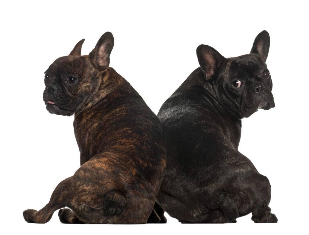 Demodecia Canina