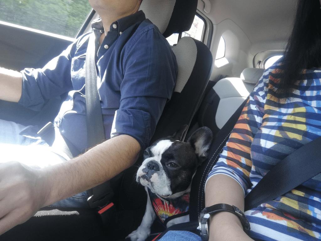 hannah masina rauta Bulldog Francez România