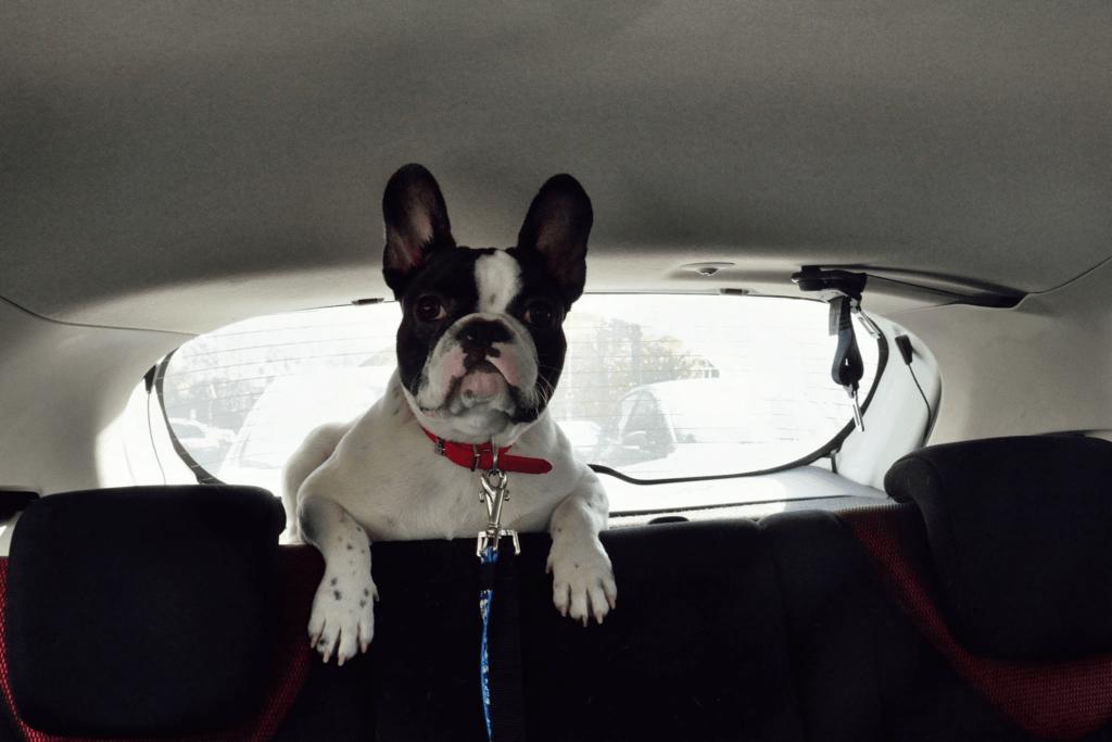 hannah masina spate 1 Bulldog Francez România