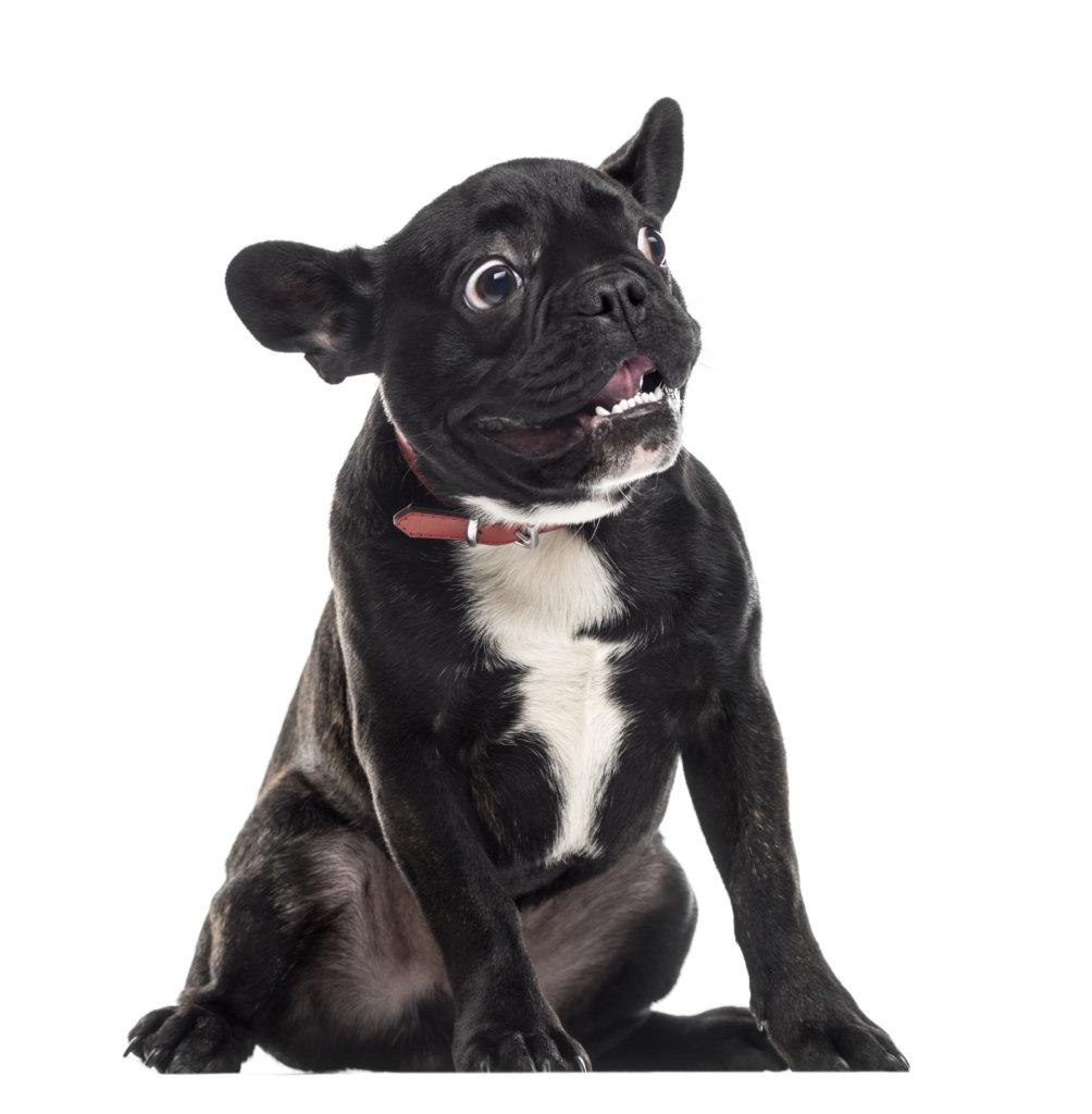diareea la bulldog francez