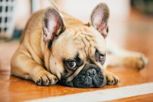 Bulldog Francez Frawn