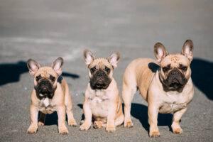 Genetica bulldog francez