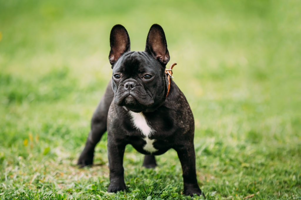 bulldog in iarba