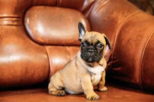 bulldog francez maro