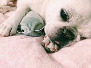bulldog francez somnoros