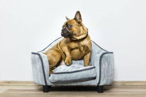 bulldog francez pe canapea