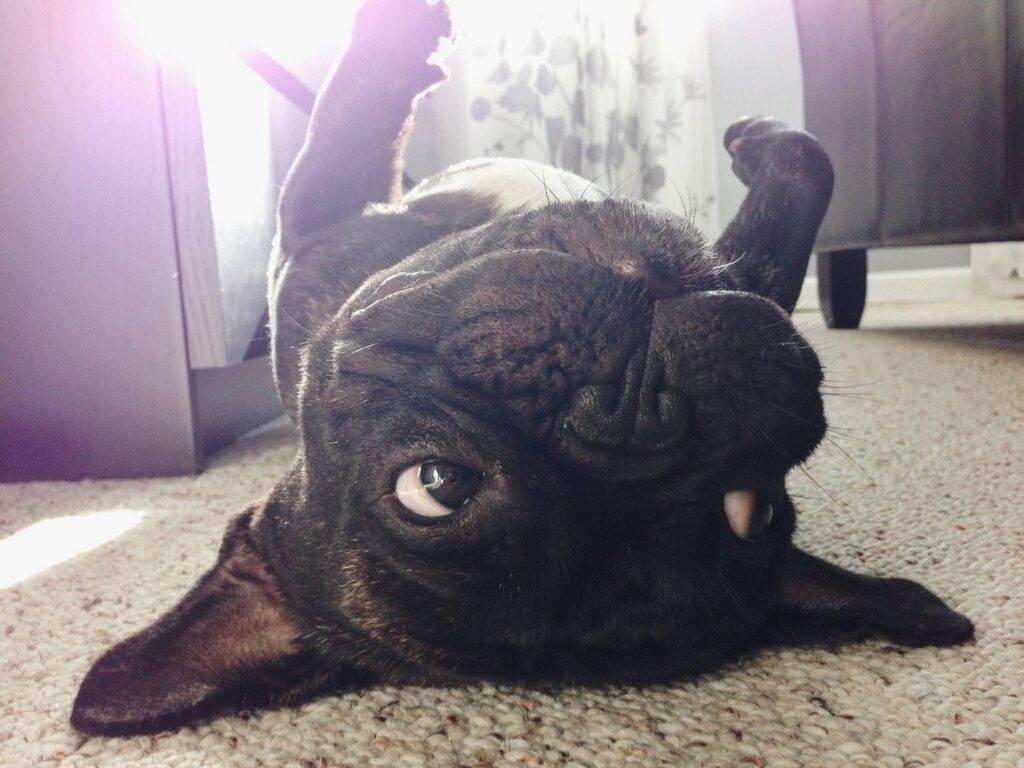 Upside down French bulldog