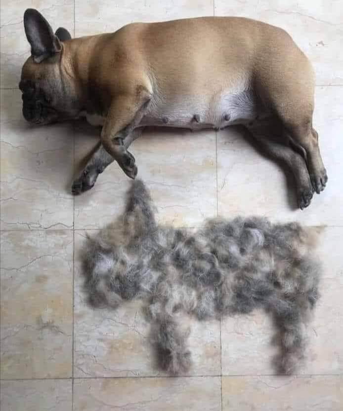 caderea parului bulldog francez
