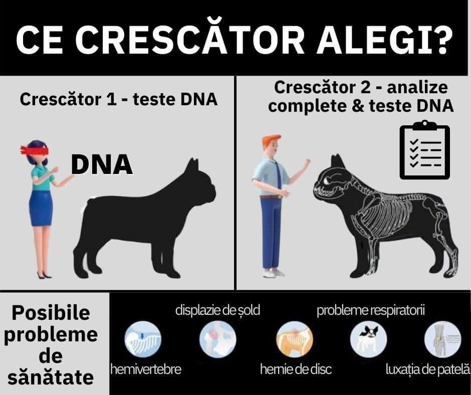 Ce crescator alegi Bulldog Francez România
