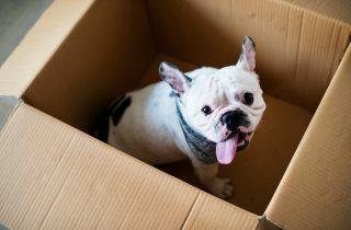 Bulldog Francez in cutie