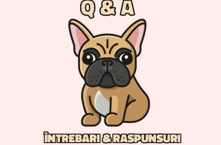 q&a bulldog francez